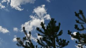Conifer tree branches move in wind on blue sky background with white clouds