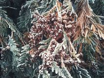 conifer tree with bumps and snow stock photo