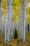 Lone conifer tree amongst aspens in the Autumn Fall foliage color in Kebler Pass near Crested Butte Colorado America Stock Photography