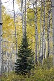 Conifer tree in the middle of Aspen trees in Kebler Pass, near town of Crested Butte Colorado America in the Autu royalty free stock photos