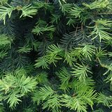 Conifer tree in a park. Stock Photography