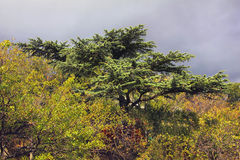 Conifer tree towering above the bushes. Conifer tree towering over yellow green bushes Stock Images