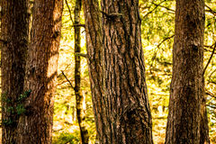 Conifer Tree Trunks Stock Images