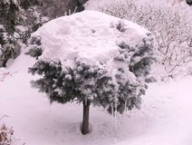 Conifer tree under the snow hat. royalty free stock photo