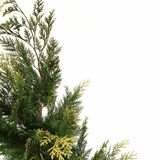 A conifer tree. Stock Photos