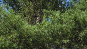 Conifer tree in wind. A coniferous tree with its branches waving in the wind stock footage