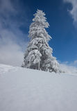 Conifer tree in winter Royalty Free Stock Photos