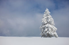 Conifer tree in winter Stock Photos