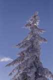 Conifer tree in winter in Black Forest, Germany Stock Image