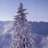 Conifer tree in winter in Black Forest, Germany Royalty Free Stock Image