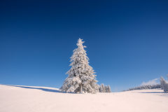 Conifer tree in winter in Black Forest, Germany Stock Photo