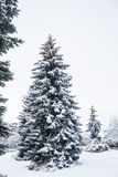 Conifer tree in winter Stock Image