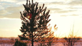 Conifer tree wood, pine, winter landscape. At sunset stock video