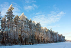 Conifer trees covered with snow Stock Photos