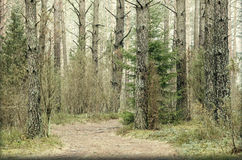 Conifer trees Stock Photography