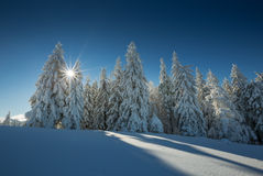 Free Conifer Trees In Winter In Black Forest, Germany Stock Photo - 63024270