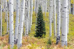 Lone conifers amongst Aspen trees groves in Autumn Kebler Pass near Crested Butte Colorado America. Aspen grove tree Fall foliage stock photos