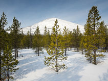 Conifer trees  in snow with mountain behind Royalty Free Stock Photography