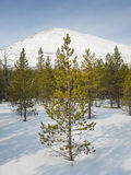 Conifer trees  in snow with mountain behind Stock Photography