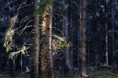 Coniifer forest at sunset Stock Photography