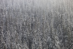 Conifer trees in winter Stock Photos