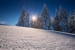 Conifer trees in winter in Black Forest, Germany Royalty Free Stock Photos