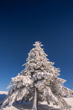 Conifer trees in winter in Black Forest, Germany Stock Photography