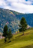 Conifer tress on grassy hillside in autumn Royalty Free Stock Image