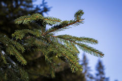 Conifer Stock Images