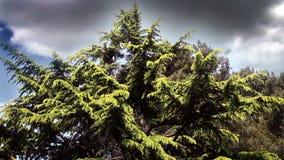 conifer z piękne chmury behind zdjęcie wideo