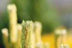 Conifer z płytką ostrością dla tła Obrazy Stock