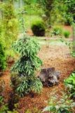 Conifera attillata di pendula di glauca del Picea Immagini Stock
