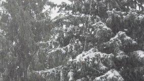 Conifera e forte nevicata archivi video