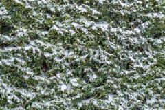 Conifera innevata nell'inverno come pianta sempreverde fotografia stock