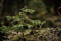 Coniferae, jedlinowy drzewo Zdjęcia Stock