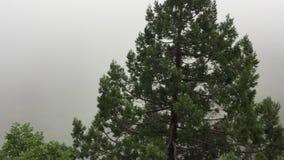 Conifere sulla foschia bianca di mattina del fondo in montagne Alberi di pino montano di vista panoramica in foschia nebbiosa den stock footage