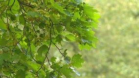 Conifero e latifoglie archivi video