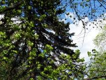 Conifero e latifoglie in primavera fotografia stock