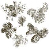 Coniferous ветви деревьев с конусами: сосна, спрус, ель, cypr иллюстрация штока