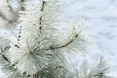 Coniferous ветви покрытые с сосной, льдом и снегом изморози стоковое изображение rf