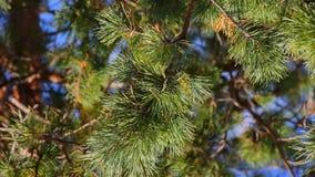 Coniferous ветвь елевой сосны с иглами сосны видеоматериал