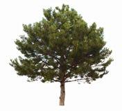 coniferous вечнозеленый вал стоковые изображения