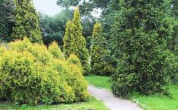 Coniferous в саде Стоковое Изображение