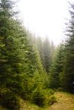 Coniferous лес зеленый цвет, деревья высокорослые и горы Стоковая Фотография