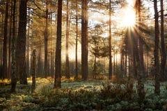 Coniferous лес при солнце утра светя стоковое изображение rf