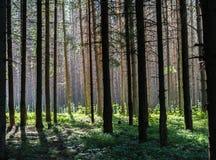 Coniferous лес Стоковое Изображение