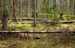 Coniferous лес стоковое изображение rf