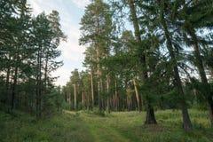 Coniferous лес Стоковые Изображения