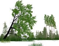 Coniferous зеленый лес изолированный на белизне стоковые фотографии rf
