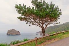 Coniferous зеленый кедр дерева на seashore Стоковое Изображение RF